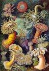 Een tekening door Haeckel
